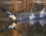 Duck taking flight photo by Bruce Hauck